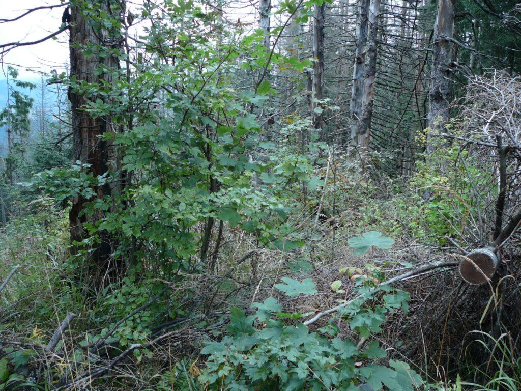 Odnowienie jaworu. Jest to strefa ochrony czynnej, więc trudno tutaj ustalić, które drzewka pochodzą z naturalnych odnowień, a które ze sztucznych nasadzeń. Istotną kwestią jest zaniechanie tutaj usuwania martwych drzew, które służą za osłonę dla odnawiającego się lasu (osłonę przed wiatrem, słońcem i zwierzyną).