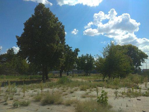 STARODRZEW NA BANACHA. W obronie drzew przy                         Banacha. Gabriela Morawska