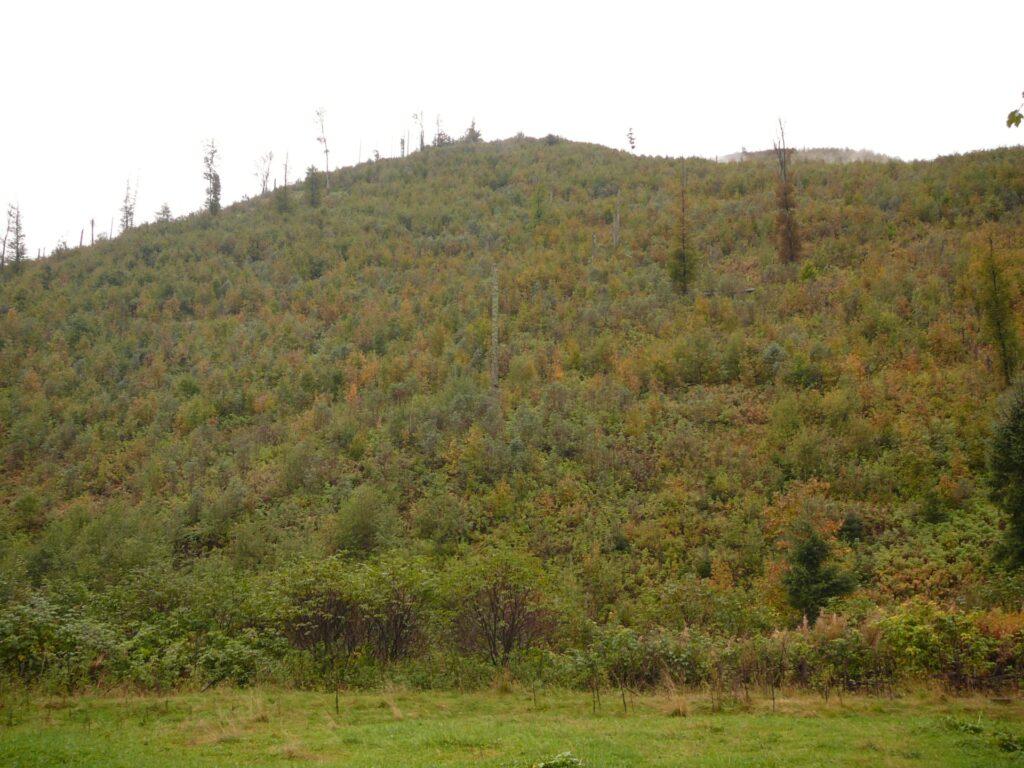Wspomagane przez człowieka odnawianie się lasów w Dolinie Chochołowskiej (strefa ochrony krajobrazowej TPN). Wyschnięte drzewa zostały usunięte, a w ich miejsce naturalne odnowienia uzupełniono sztucznymi. Las. który tu wyrośnie estetycznie może i będzie ładny, będzie też dostarczał dobrej jakości drewna, ale nie będzie tak bogaty w gatunki i silny, jak las odradzający się bez pomocy ludzi w strefach ochrony ścisłej TPN.