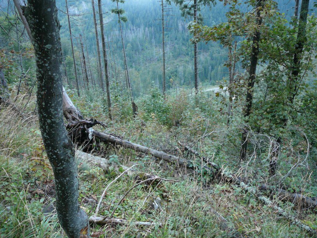 Po powalonych świerkach można wnioskować, że te wypadły wcześniej. Wystawione na światło stoki zarastają jarzębiną i jaworem. Powalone drzewa stanowią osłonę dla drzewek i gleby.