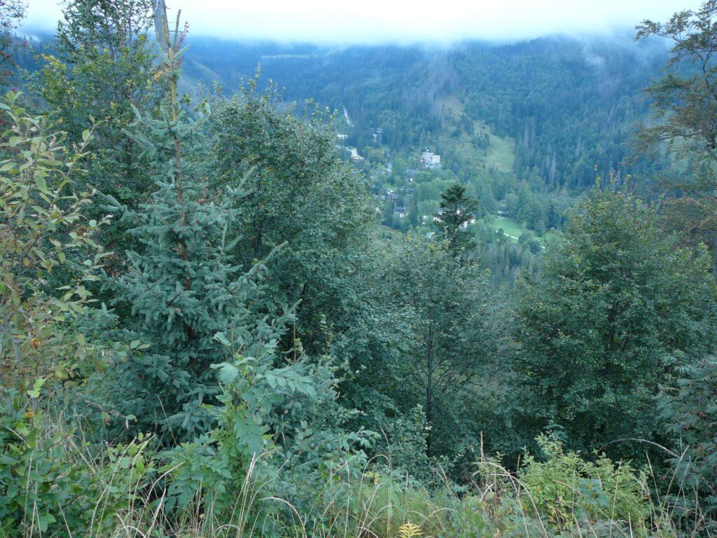 Tu las świerkowy dawno wysechł. Widać tu piękne odnowienia świerkowe, bukowe, na pierwszym planie jesion i górska wierzba. Powalone drzewa zasłoniła roślinność.