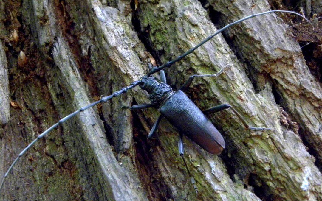 Kózki na dębach, czyli KOZIOROGI DĘBOSZE                            w lesie bielańskim. Gabriela Morawska