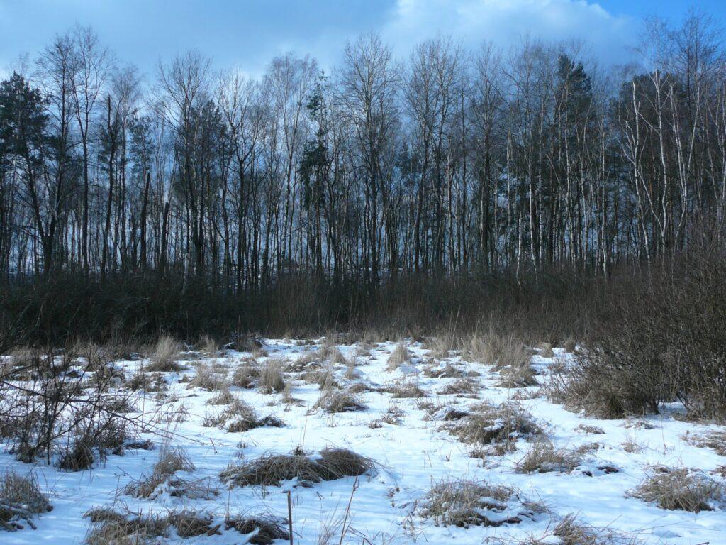 Torfowisko. Za drzewami widoczna Wydma Szwalnicka. Natura 2000 Poligon Rembertowski. Fo. Tomasz Nakonieczny